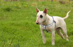 A dog (Bull terrier) outside Royalty Free Stock Image
