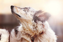 Dog outside looking up. Border collie Australian shepherd dog canine pet looking hopeful happy excited alert with a sun flare vintage filter stylized atmosphere Stock Image
