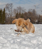 Dog Outside in the Snow with a Stick Stock Photo