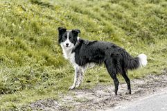 border collie dog outside staring into the photocamera royalty free stock photography