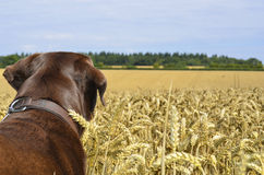 Dog overlooking field Stock Images