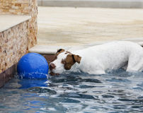 Dog with an oversized ball Stock Photo