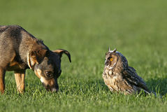 Dog and Owl. Cute dog looking at owl on grass Stock Photography