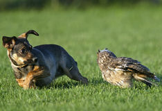 Dog and Owl. Cute dog running from owl on grass Royalty Free Stock Image