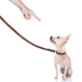 Dog and owner. Chihuahua dog ready for a walk with owner , punished by the owner Royalty Free Stock Photography