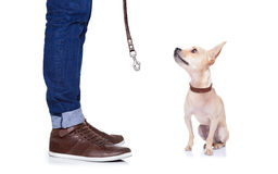 Dog and owner. Chihuahua dog waiting to go for a walk with owner with leather leash , isolated on white background Stock Image