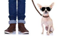 Dog and owner. Chihuahua dog waiting to go for a walk with owner with leather leash , isolated on white background Stock Photos