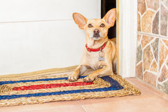 Dog and owner. Chihuahua dog waiting for owner to play  and go for a walk with leash Royalty Free Stock Photo