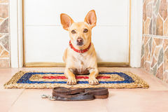Dog and owner. Chihuahua dog waiting for owner to play and go for a walk with leash royalty free stock images
