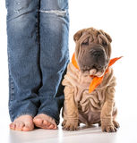 Dog and owner. Chinese shar pei sitting beside owner isolated on white background Stock Image