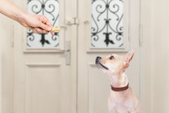 Dog and owner  with a cookie treat. Chihuahua  getting a cookie bone treat for good behavior, dog waiting to go for a walk with owner Stock Photos