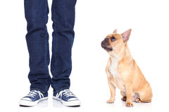 Dog and owner. Fawn bulldog dog and owner ready to go for a walk, or dog being punished for a bad behavior, isoalted on white background royalty free stock photo