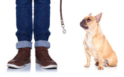 Dog and owner. Fawn bulldog dog and owner ready to go for a walk, or dog being punished  for a bad behavior, isolated on white background Royalty Free Stock Image
