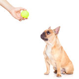 Dog and owner. Fawn bulldog  dog ready to play and have fun with owner and tennis ball toy , isolated on white background Stock Images