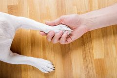 Dog and owner handshaking. Or shaking hands  and paw as a team or friendship and in love royalty free stock images