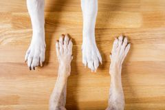 Dog and owner handshaking. Or shaking hands  and paw as a team or friendship and in love stock images