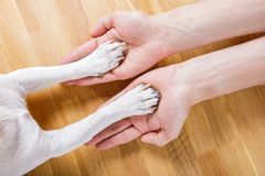 Dog and owner handshaking. Or shaking hands  and paw as a team or friendship and in love royalty free stock image