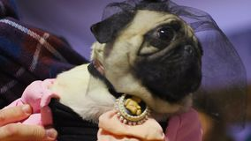 Dog owner holding cute pug puppy wearing fancy dress and accessories, pet show