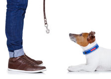 Dog and owner. Jack russell dog waiting to go for a walk with owner with leather leash , isolated on white background royalty free stock image