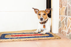 Dog and owner. Jack russell dog waiting for owner to play  and go for a walk with leash Royalty Free Stock Photos