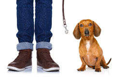 Dog and owner with leash. Dachshund or sausage dog waiting for owner to play and go for a walk with leash, isolated on white background stock images