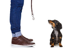 Dog and owner  with leash. Dachshund or sausage  dog waiting for owner to play  and go for a walk with leash, isolated on white background Royalty Free Stock Images