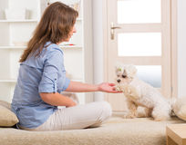 Dog and owner. Little dog maltese sitting with his owner on the sofa in home and giving a paw Stock Photo