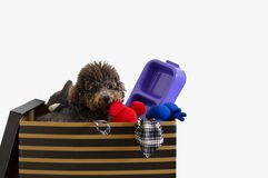 The dog owner packing black color poodle`s stuffs in the box for house moving. stock photography