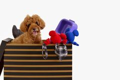 The dog owner packing brown color poodle`s stuffs in the box for house moving royalty free stock images