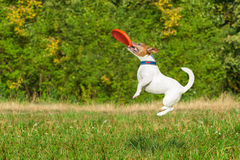 Dog and owner playing. Jack russell dog catching a flying disc in the air , jumping very high after a fast run royalty free stock photography