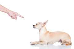 Dog and owner punish. Chihuahua dog ready for a walk with owner , punished by the owner stock photos