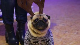 Dog owner putting tough accessories on pet, poor pug suffering cruel treatment