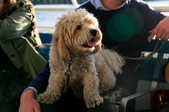 Dog on owner`s lap Stock Photos