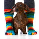 Dog with owner Stock Photography