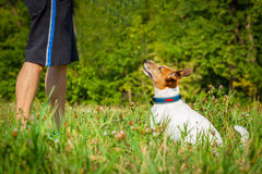 Dog and owner teaching. Jack russell dog and owner waiting for a play or a walk , outdoors being patient and obedient royalty free stock image