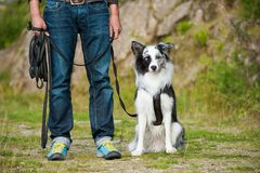 Man with a border collie dog. Dog owner trains with a border collie at the towline stock photos