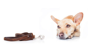 Dog and owner for a walk Stock Photography