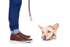Dog and owner for a walk Royalty Free Stock Image