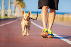 Dog and owner walking. Chihuahua dog close together to owner walking with leash outside at the park as friends Royalty Free Stock Image
