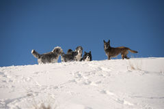 Dog pack playing on the mountain ridge: bearded collie, border collie, belgian sheepdog, pumi Royalty Free Stock Photography