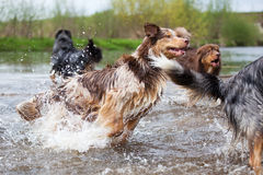 Dog pack runs in the water Stock Photo