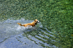 Dog paddling in creek water Stock Photography