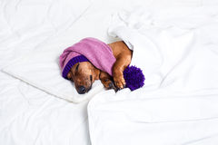 A dog in pajamas Stock Images