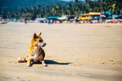 Dog at Palolem Beach, Goa Royalty Free Stock Images