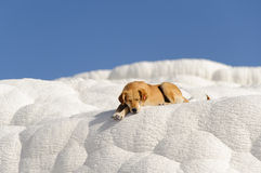 Dog in Pamukkale Royalty Free Stock Photography