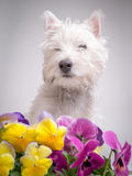 Dog among the pansies. A cute white dog in the flower bed among the pansies Royalty Free Stock Image