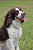 Dog panting Stock Images