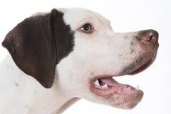 Dog panting Stock Photo