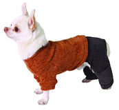 Dog in pants and sweater Royalty Free Stock Image