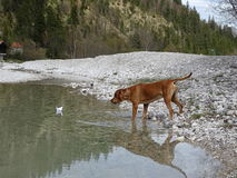 The dog and paper boat. In the photo is a dog rhodesian ridgeback who is playing with paper ship on the river Isar near Vorderriß Bavaria, Germany Stock Images